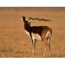 Antilopa cu coarne spiralate