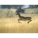 Antilopa impala
