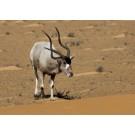 Antilopa mendes
