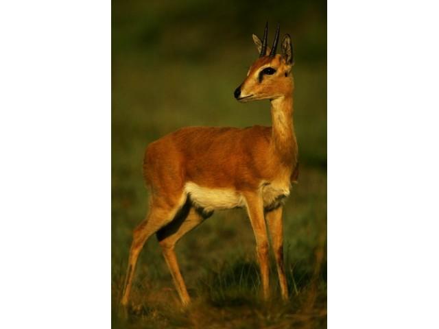 Antilopa Oribi