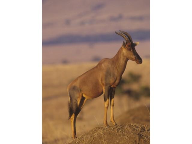 Antilopa Sasabi