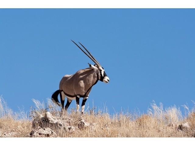 Beisa sud-africana