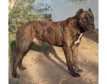 Bulldog spaniol (alano spaniol)