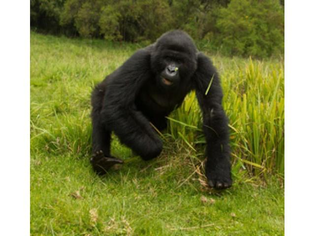 Gorila de munte