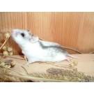 Hamster chinezesc