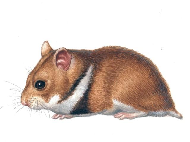 Hamster romanesc