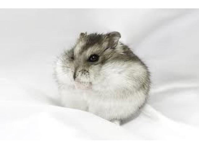Hamster rusesc pitic