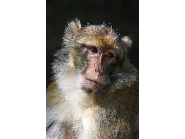 Maimuta macac japonez