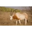 Oryx cu coarne sabie