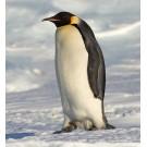 Pinguin imperial