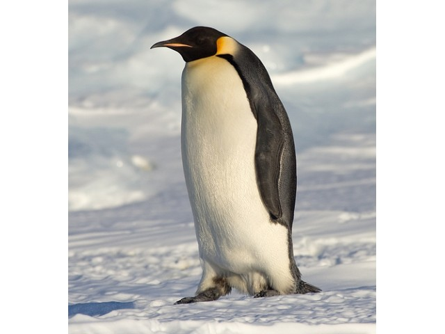 Pinguin imperial