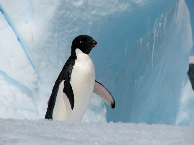 Pinguinul Adelie