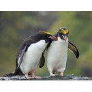 Pinguinul macaroni