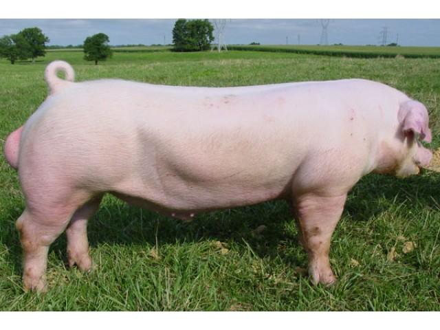Porc Landrace