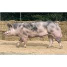 Porc Pietrain