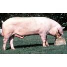 Porc Marele Alb