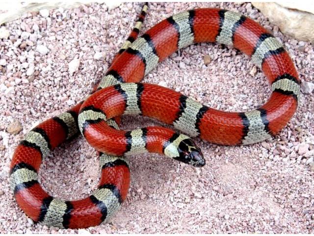 Sarpele de Lapte (Milk Snake)