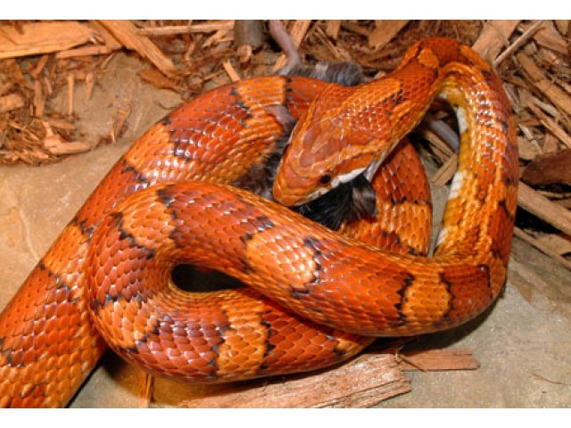 Sarpele de Porumb (Corn Snake)
