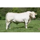 Vaca Charolais