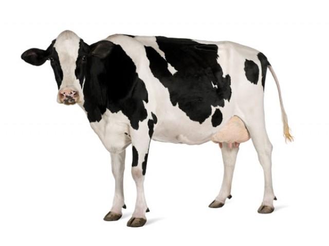Vaca Holstein-Friza