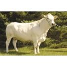 Vaca Piemontese