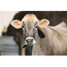 Vaca Schwyz