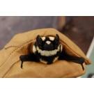 A fost descoperita o noua specie de lilieci
