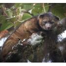 A fost descoperita o noua specie de mamifer carnivor!
