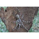A fost descoperita o noua specie de tarantula gigant!