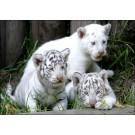 A fost elucidat misterul tigrilor albi
