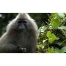 A fost fotografiat un pui de maimuta kipunji!