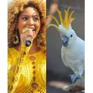 Animale care seamana cu Beyonce