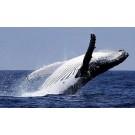 Balenele cocosate sunt capabile sa invete lucruri noi