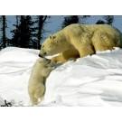 Bastien si ursul polar