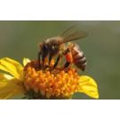 Bazaitul albinelor creeaza un camp electric care le ajuta sa comunice intre ele!