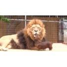 Cainele, dentistul personal al leului!