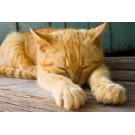 Caliciviroza felina