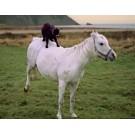 Capra a iesit la plimbare ... pe cal