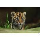 Cei mai frumosi tigri ai saptamanii!