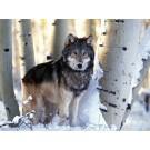 Cercetatorii au aflat de ce urla lupii