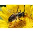Comisia Europeana va interzice pesticidele pentru a proteja albinele