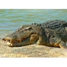 Crocodilii au organe de simt unice