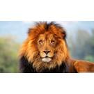 Curiozitati despre leu