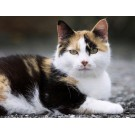 De ce slabeste pisica?