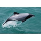 Delfinul Maui, o specie pe cale de disparitie