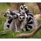 Descoperire inedita: Primata care hiberneaza sub pamant!