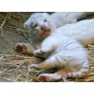 Eveniment rar: Patru pui de tigru alb s-au nascut in Japonia