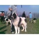 Expozitie canina CAC la Iasi