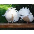 Expozitie de porumbei de agrement la Bucuresti