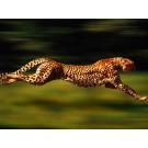 Ghepardul, cel mai rapid animal terestru ar putea disparea! Vezi de ce